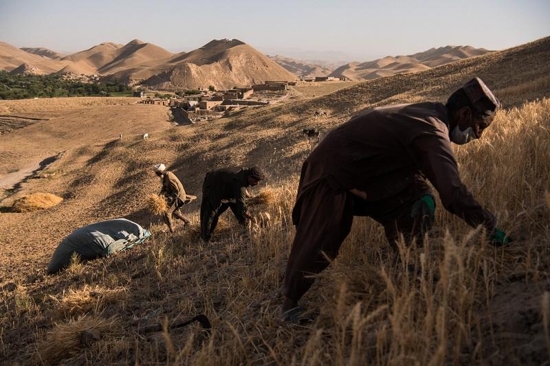Homme travaillant les blés - Action contre la Faim