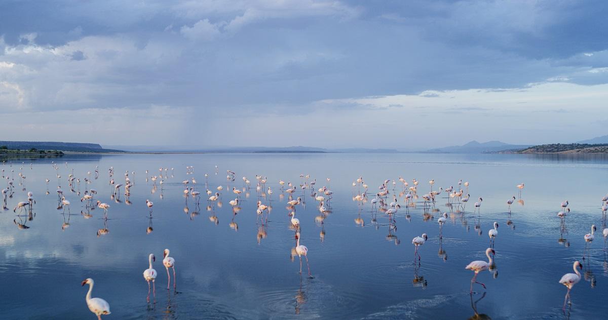 Une colonie de flamants nains (Phoeniconaias minor) sur le Lac Magadi, au sud du Kenya
