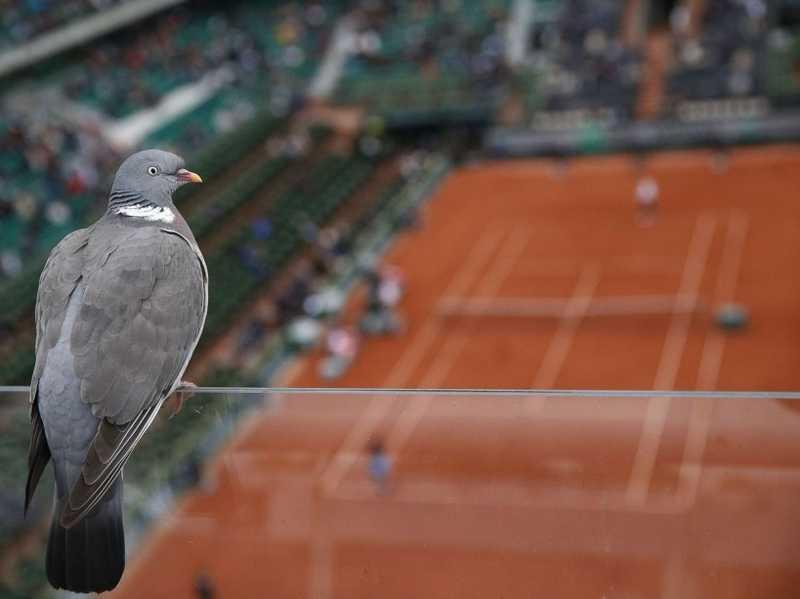 pigeon sur Cours de roland garros