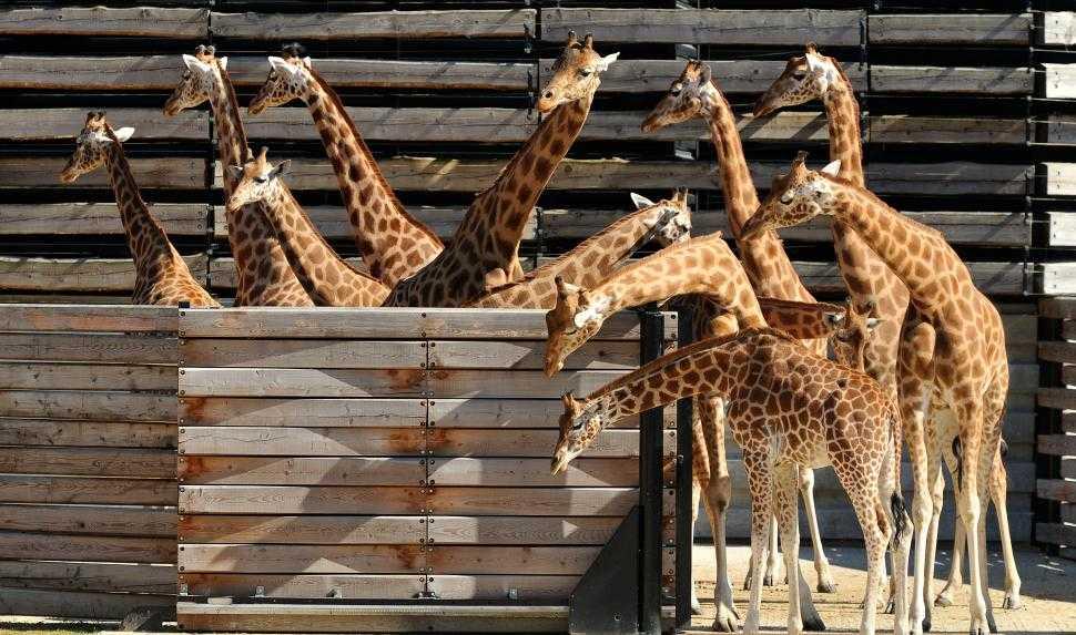 1_ere_sortie_des_girafes