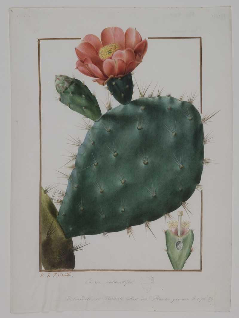 Pierre-Joseph Redouté (1759-1840) Cactus cochellinifer, aquarelle sur vélin destinée au recueil Plantanum succulentaum historia [Histoire des plantes grasses], 1797-1798, Paris, muséum national d'histoire naturelle.