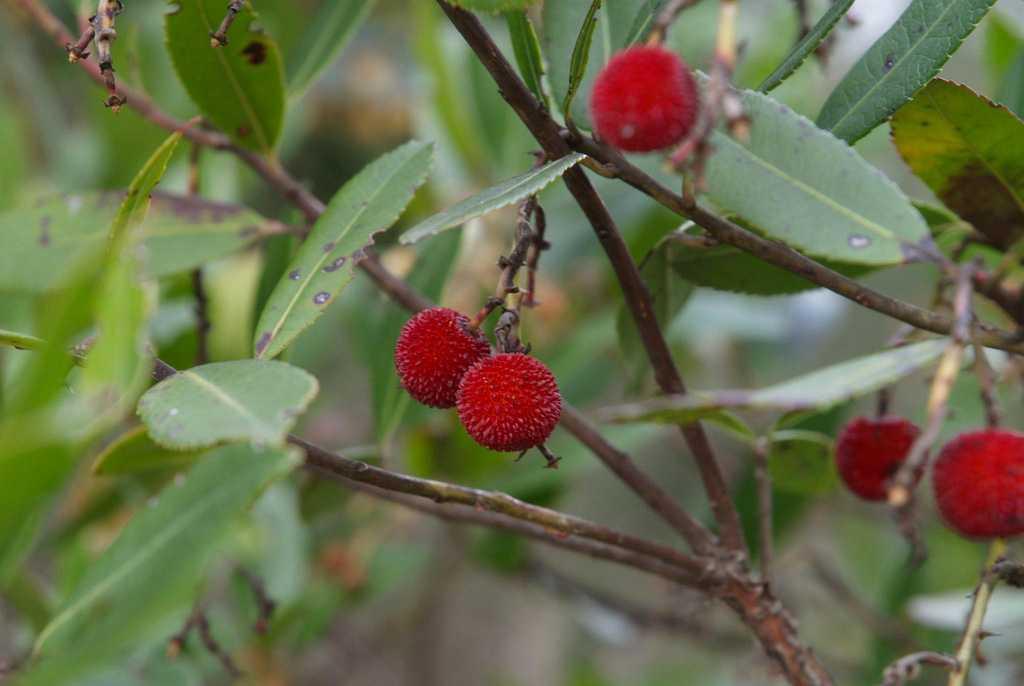 O observer baies et fruits d automne paris que faire - Fruit de l arbousier ...