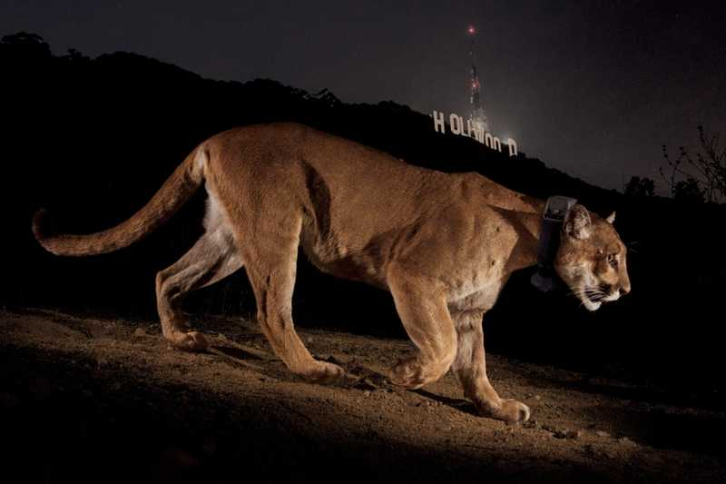Puma sur les collines de Los Angeles