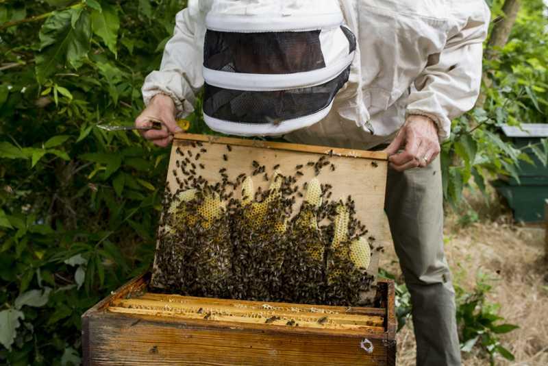 Cadres et abeilles, récolte de miel