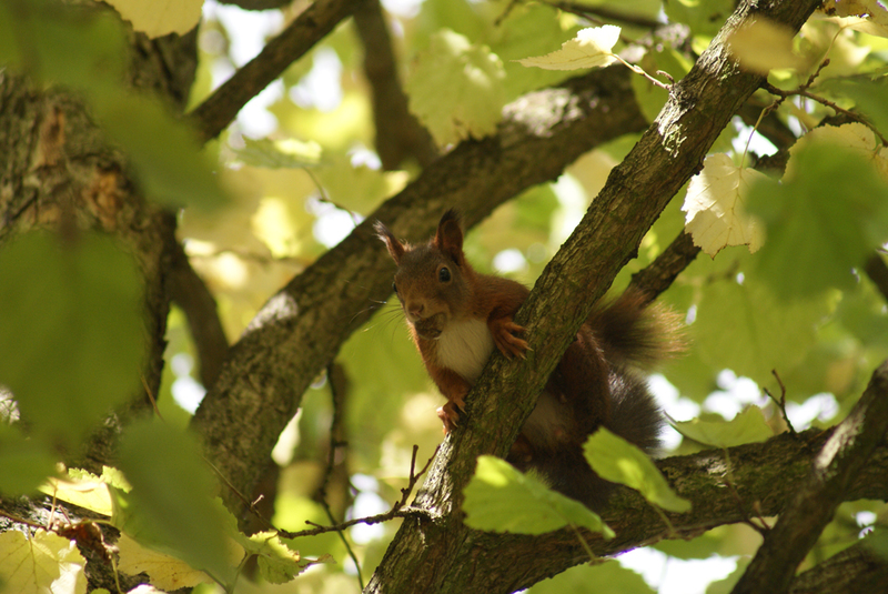 L'écureuil roux au cimetière parisien de Thiais