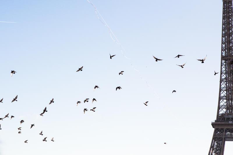 Pigeons et Tour Eiffel