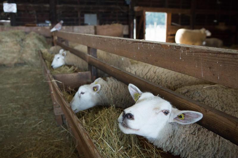 Les moutons de la Ferme de Paris