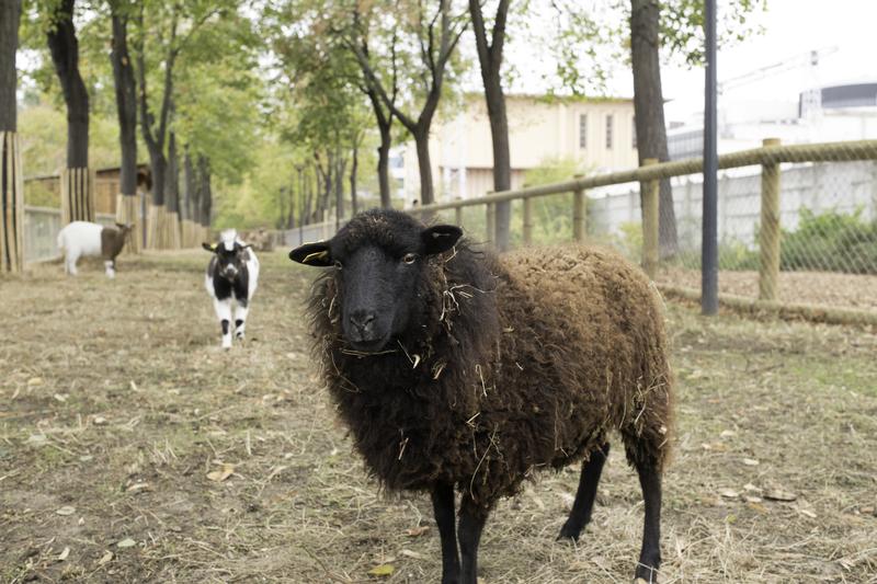 Mouton Ouessant s.Lenglen