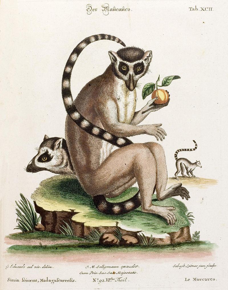 Lémuriens. Illustration de George Edwards, XVIIIe siècle. Source : Wikimedia Commons. Domaine public.