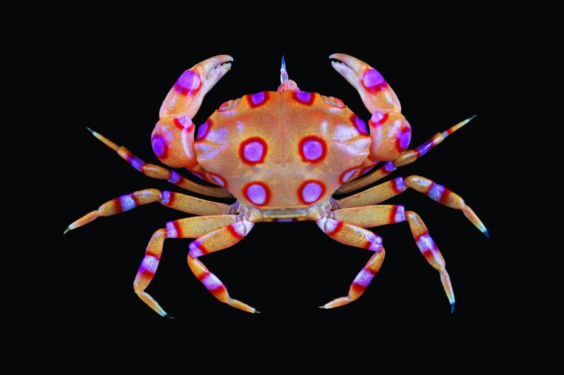 Xanthias-maculatus