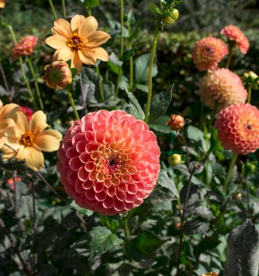 30 ème concours international du Dahlia au Parc Floral de Paris